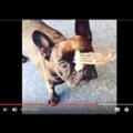 シュールストレミングにトライする犬