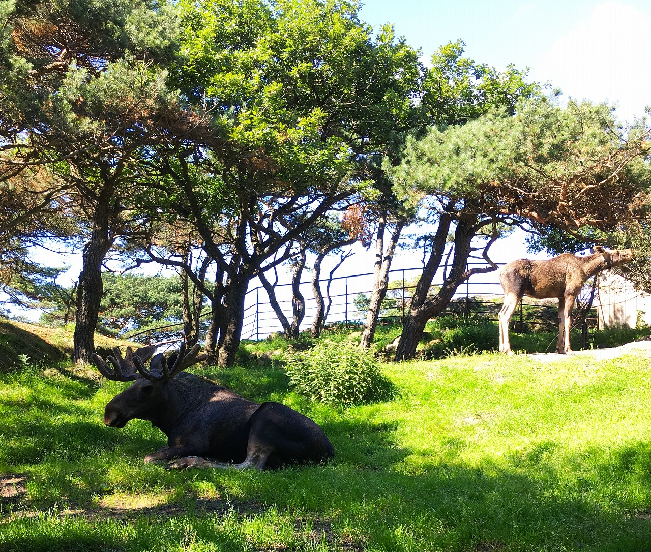 Slottskogenのヘラジカ二頭